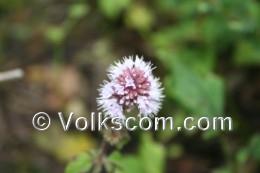 Namen der pflanze mehr informationen zum gewöhnlichen pfeilkraut