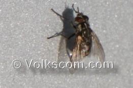 stechende insekten wadenstecher stechende fliege. Black Bedroom Furniture Sets. Home Design Ideas